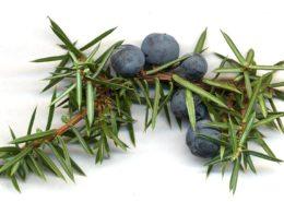 Jalovčinky, plody jalovce; Foto: MPF, Wikimedia Commons