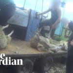 VIDEO: Tajná nahrávka odhaluje týrání ovcí na britských a skotských farmách