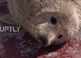 VIDEO: V Kaliningradské ZOO se narodila tři tulení mláďata