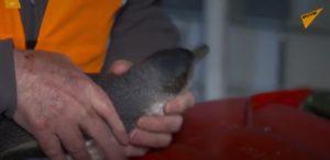 """VIDEO: Novozélandská policie """"zadržela"""" tučňáky, kteří vnikli do sushi baru"""