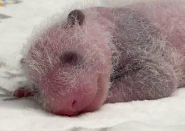 VIDEO: V berlínské ZOO se narodila pandí mláďata