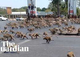 VIDEO: Hladové opice se hádají o jídlo na ulici v Thajsku z důvodu poklesu turistiky