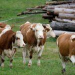 EVROPSKÁ UNIE chce monitorovat množství metanu vypouštěného skotem